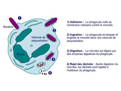 phagocytose etapes